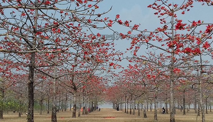 তাহিরপুরের শিমুলবাগান যেন গাইছে ফাগুনের গান