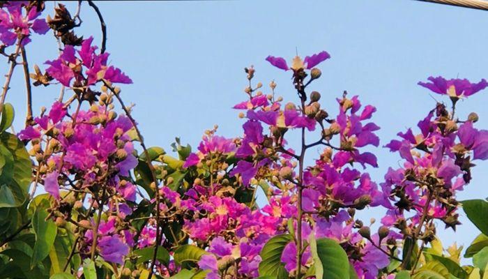 কৃষ্ণচূড়ার লাল ও সোনালুর হলুদ-সোনালি রঙের সাথে জারুলের বেগুনি সৌন্দর্য খুবই মনোহর। ছবি: সমির মল্লিক