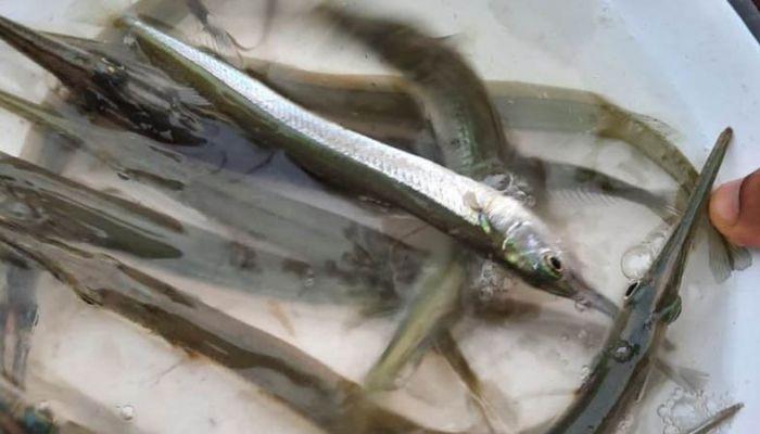 কাকিলা মাছ