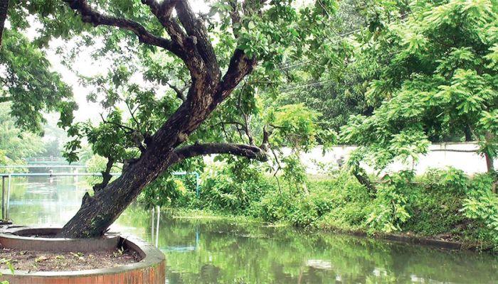 বঙ্গবন্ধুর স্মৃতিতে টুঙ্গিপাড়ার বাঘিয়ার খাল ও হিজল গাছ। ছবি: প্রতিনিধি